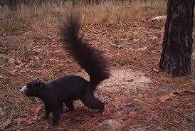 Daufuskie Island Black Fox Squirrel