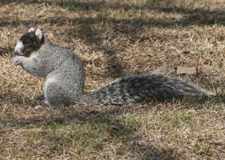 Daufuskie Island Fox Squirrel