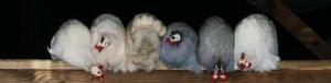 Guinea fowl are a favorite for visitors