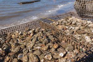 Bluffton-Oyster-Farming